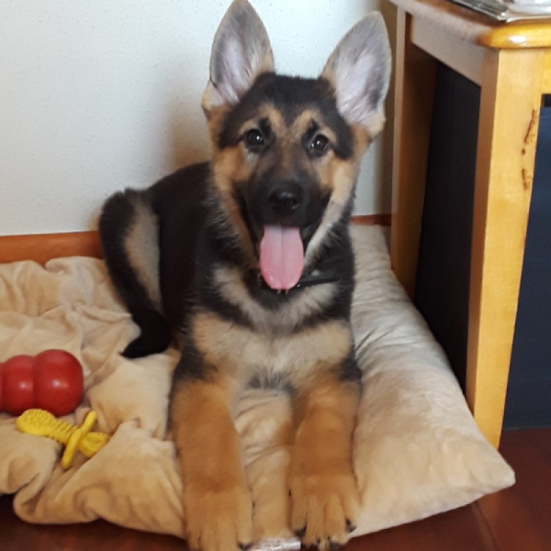 "A new family and a new name … meet ""Java,"" the newest addition at Trusted Guardian German Shepherds."