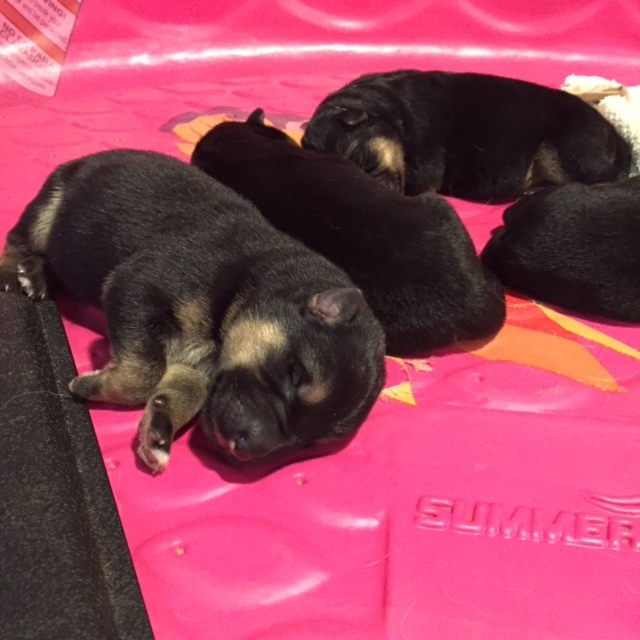 Abbey x Rex's April 13, 2019, litter at 1 day old. Want to know what they'll look like when they're older? Take a look at a previous Abbey x Rex litter by clicking on this picture.