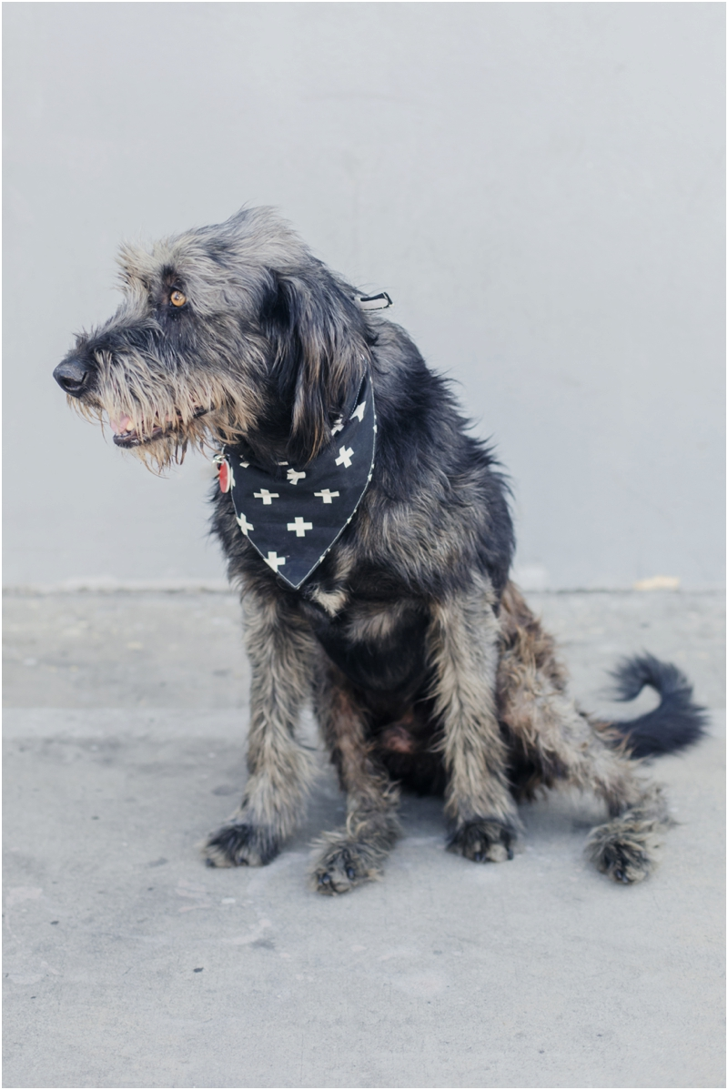 irish wolfhound available for adoption at wags and walks dog rescue