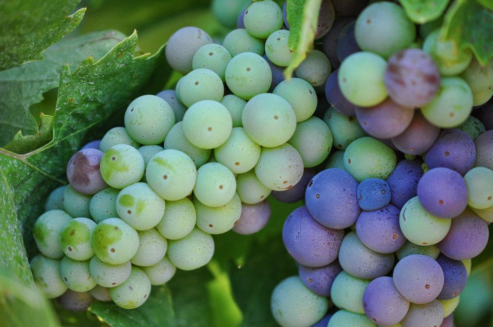 Grape bunches.JPG