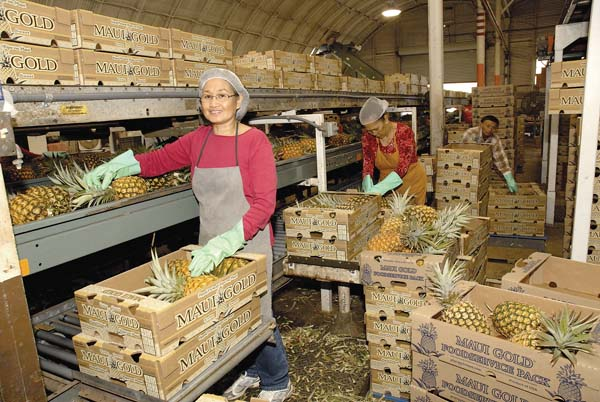 Fruit packer Marita Balala puts pineapples into boxes at a Maui Gold Pineapple Co. packing warehouse in Haliimaile. The LeVecke family has purchased Maui Gold for an undisclosed amount. The acquisition included the company's baseyard and 800 acres of fields. STEVE BRINKMAN photos