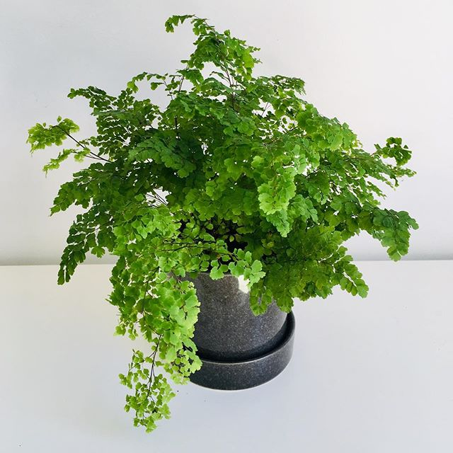 Raise your hand if you have ever been personally victimised by a #maidenhairfern 🙋♀️🤦♀️🌿🌿🌿this beauty has been in my care for a while now and not only is it still alive it's doing well! If you've ever had one you'll know they can be a bit *tricky* latest blog post floretica.co.nz/blog for tips on how to keep em alive and healthy . . . . . . . . . #floreticaflorist #floreticafloristplants #crazyplantlady #indoorplants #maidenhairfern #fern #potplants #plantblog #indoorplants