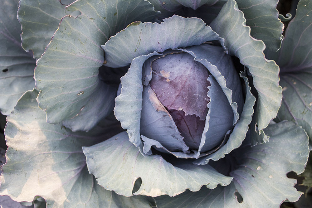 Cabbage at Lower Piney Heirloom Vegetable Gardens.