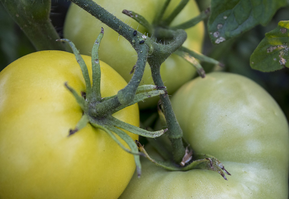 Tomatoes at Lower Piney Heirloom Vegetable Gardens.