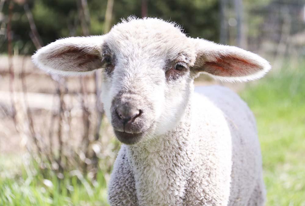 cycle_farm_lamb.jpg