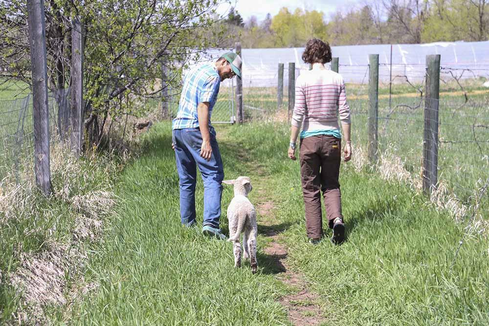 cycle_farm_lambs.jpg