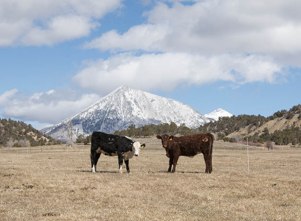 Cattle on pasture in Crawford, Colorado.