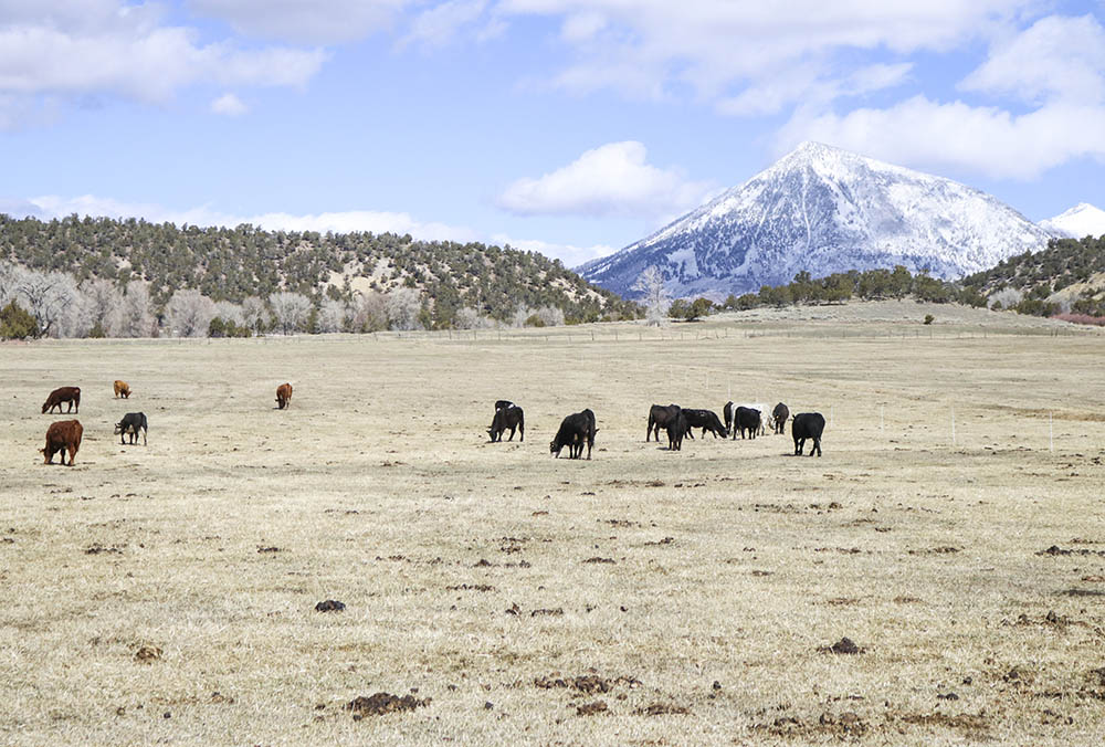 Cattle on pasture at XK Bar Ranch in Crawford, Colorado.