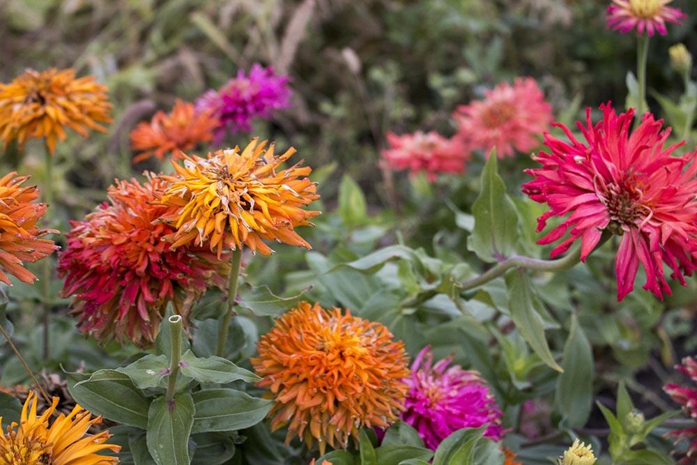 Fresh flowers at Peaceful Belly Farm in Boise, Idaho.