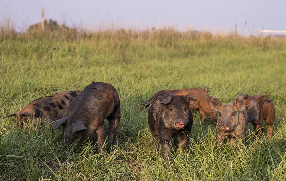 Pasture raised piglets at Hyatt Family Farm.