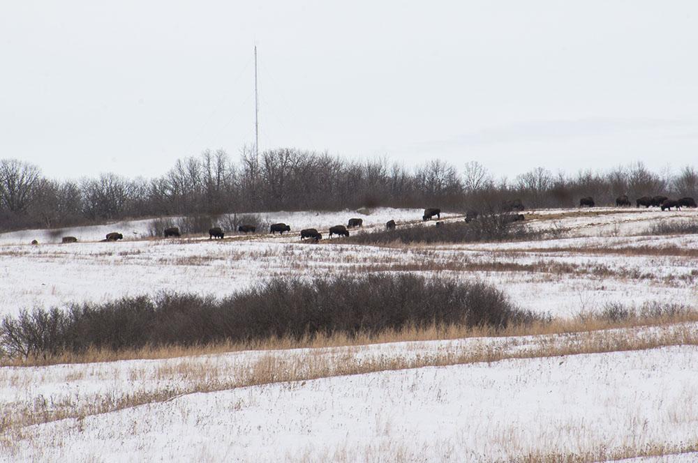 Spirit Lake Nation's buffalo herd.