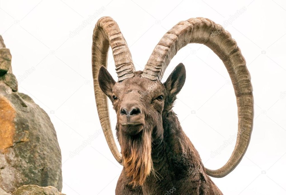 depositphotos_120105560-stock-photo-one-great-siberian-ibex.jpg