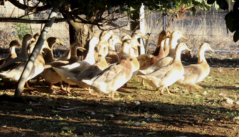 27f ducks eat insects fruit weeds.jpg