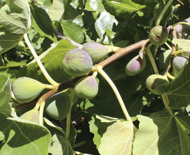 30g figs.jpg
