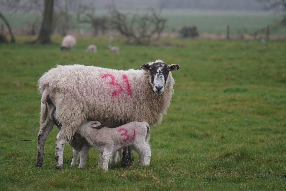 numbered sheep.jpg