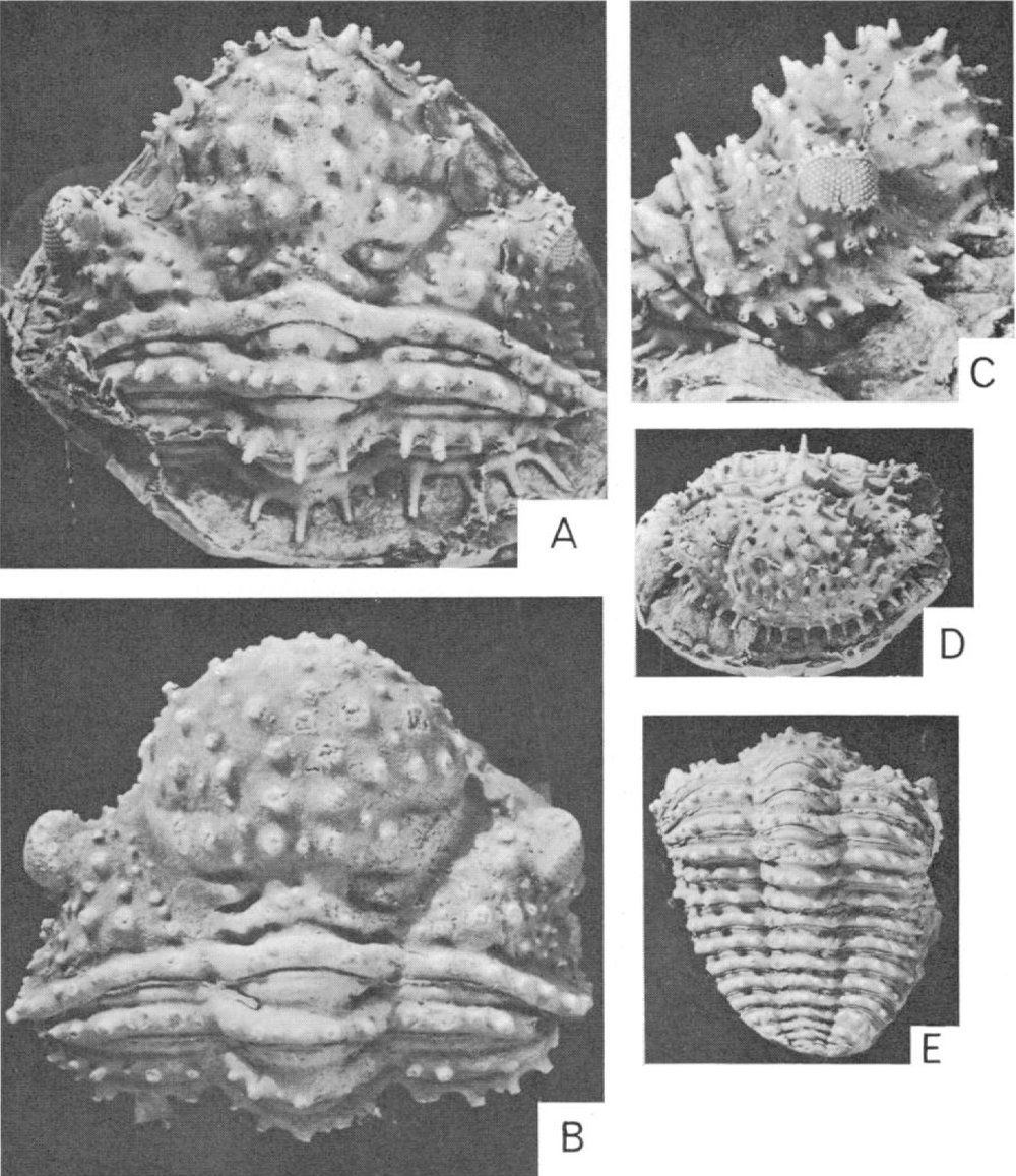 A latex cast of an external mold of a specimen of  Bouleia dagincourti  from the Devonian of Bolivia, in the collections of the American Museum of Natural History. Picture from N. Eldredge. 1972.  Journal of Paleontology  46:140-151. Image copyright  JSTOR  and  Society for Sedimentary Geology .