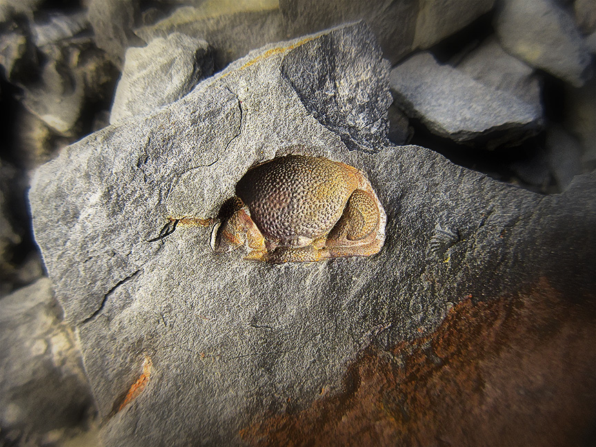 A head of the trilobite  Phacops , sometimes called  Eldredgeops ,  rana  recovered in the field in upstate New York; image courtesy of Art Murphy.