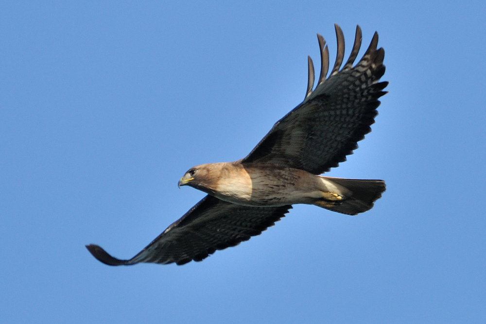 Red-Tailed Hawk, photo by Don DeBold. CC BY-SA 2.0, https://commons.wikimedia.org/w/index.php?curid=6646068