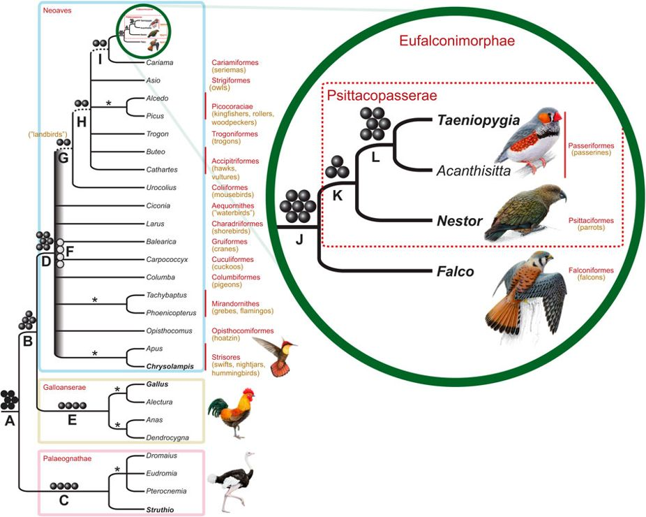 Figure of the bird tree of life from Suh et al. (2011)  Nature Communications  DOI: 10.1038/ncomms1448 | www.nature.com/naturecommunications , Macmillan Publishers Limited all rights reserved.