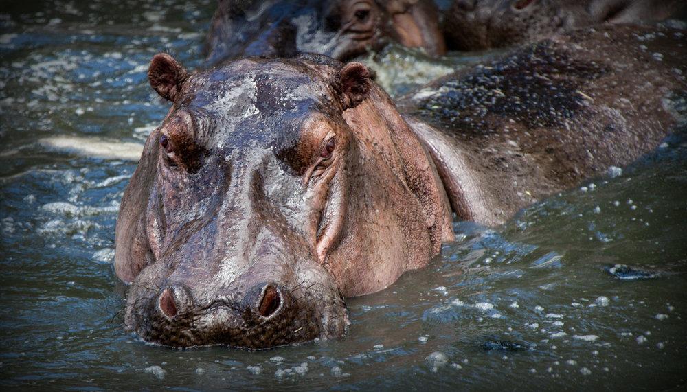 activities-hippo.jpg