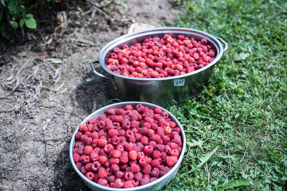 Harper's Raspberry U-Pick - Récolte de Chez Nous - Really Local Harvest