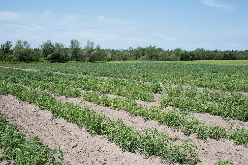Copy of Poirier Strawberry U-Pick - Récolte de Chez Nous - Really Local Harvest