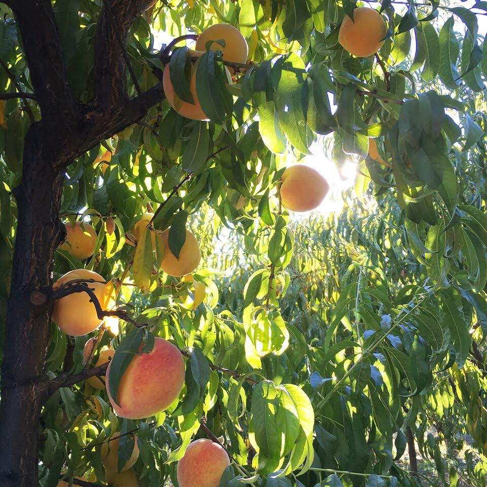 Dry Creek Peach is a boutique organic peach farm nestled in the Dry Creek Valley of Healdsburg. We strive to grow the best and most nutritious peaches you will ever taste. Our 30 variety season runs from Memorial Day through Labor Day. -