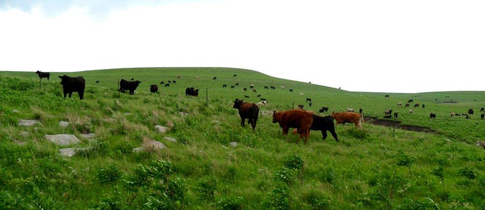 Cattle in the tallgrass prairie.JPG