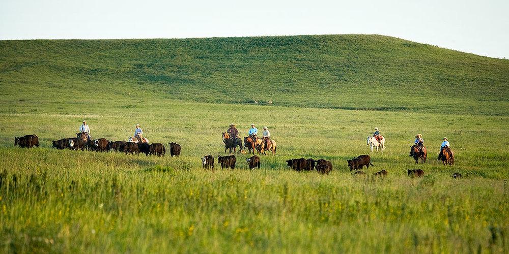 Driving Cattle.jpg
