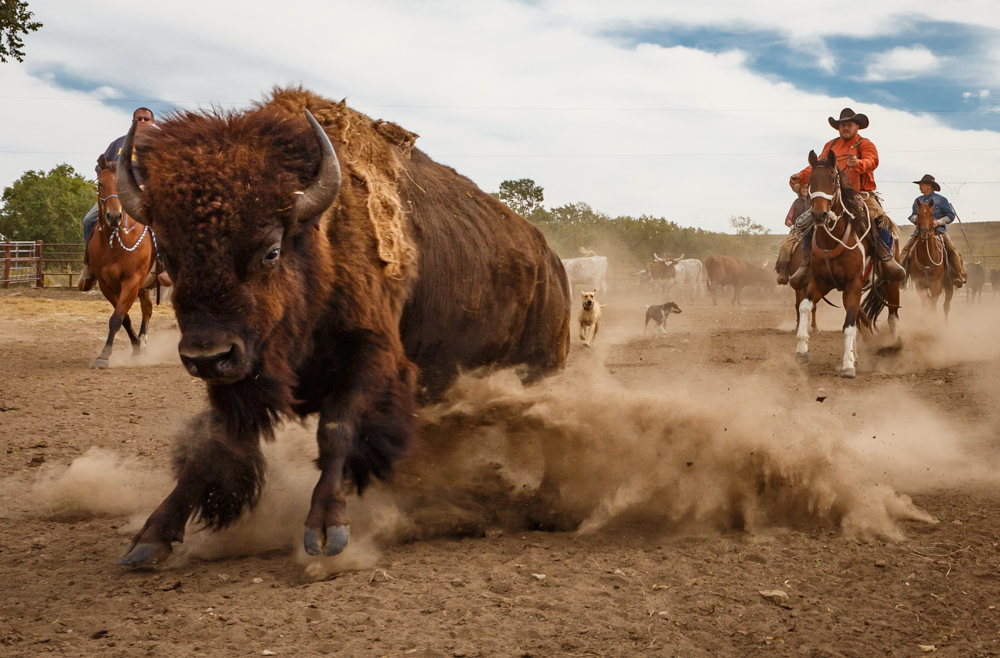 bison-drive.jpg