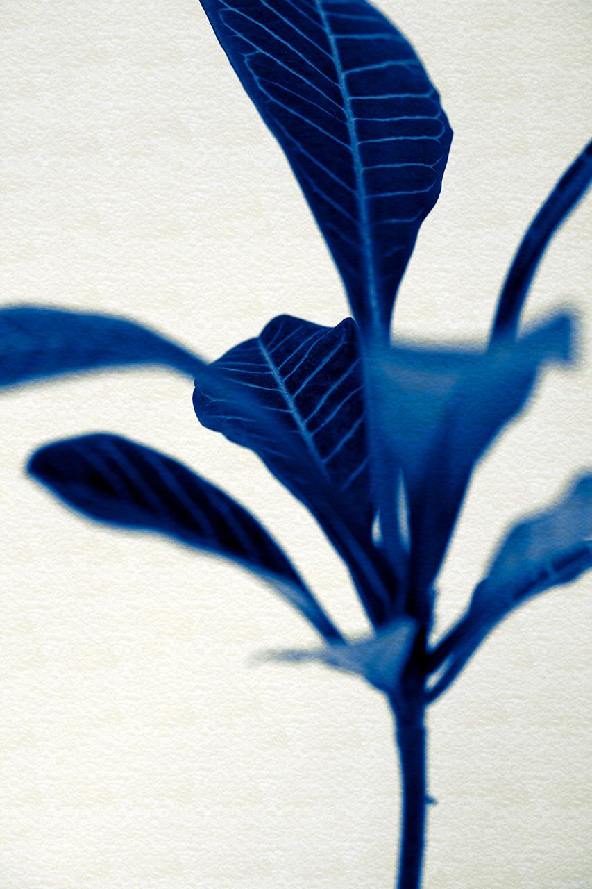 Euphorbia leuconeura - Tones Of Blues On Paper