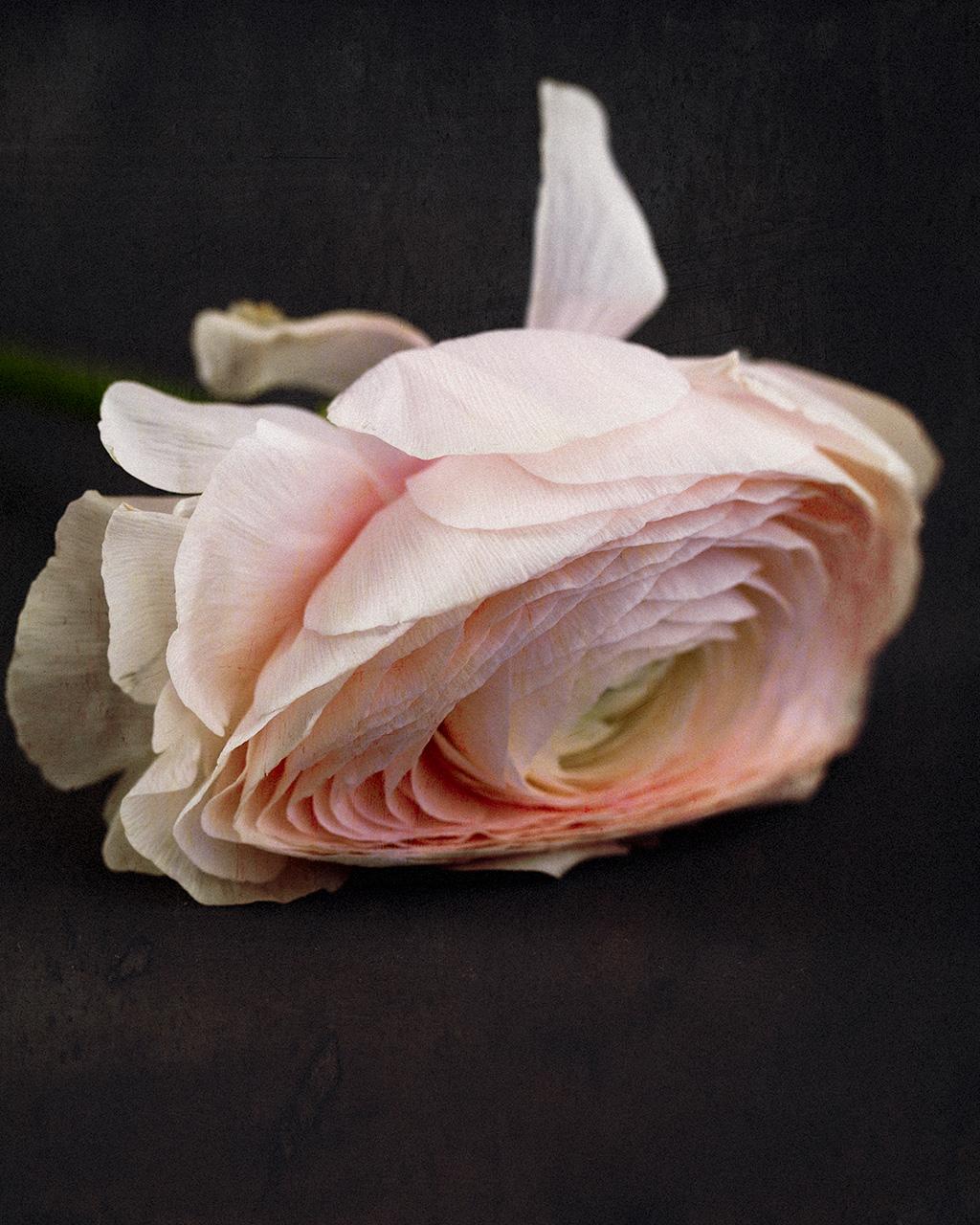 Ranunculus Imperfectus VII