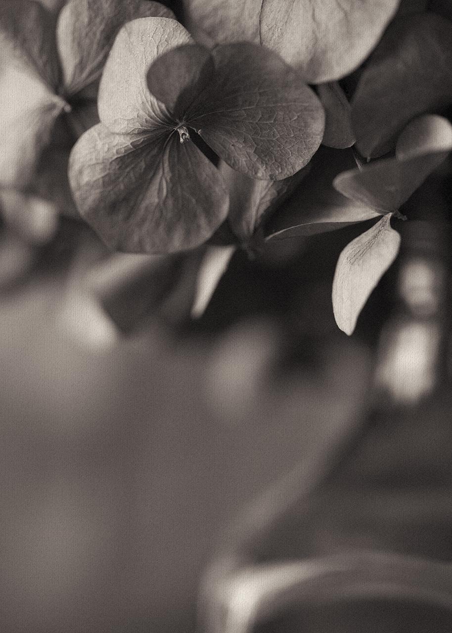 Sepia Toned Hydrangea Textured