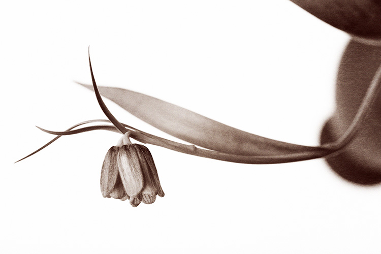 Grainy Fritillaria