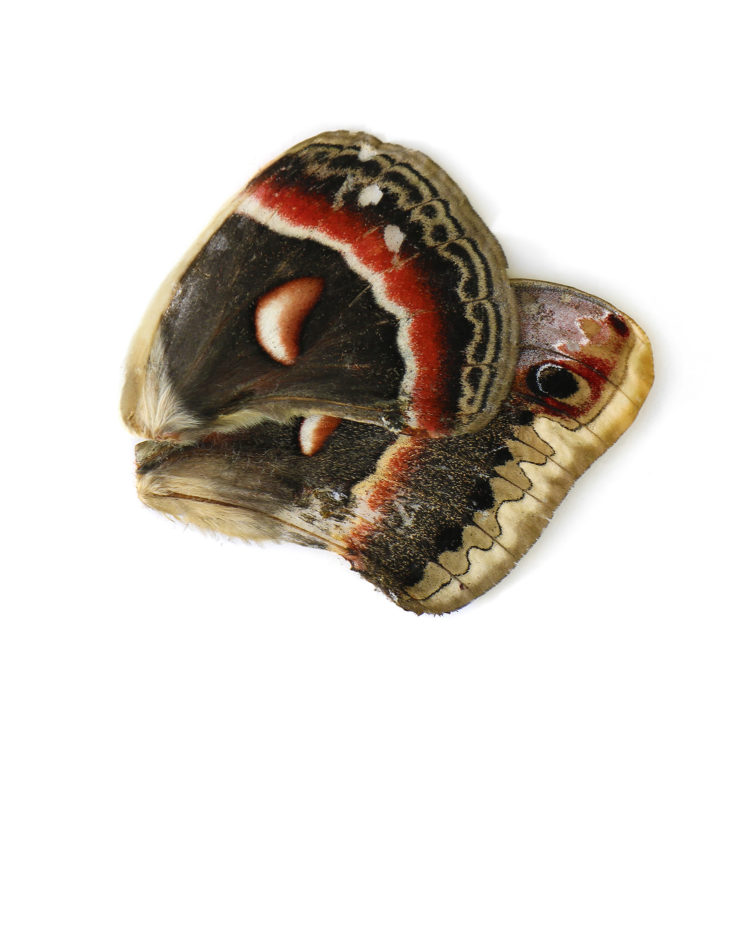 cecropia-moth-wings-2