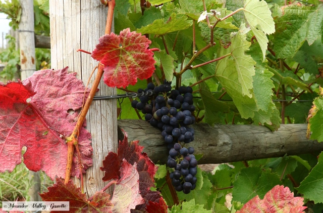 wine-grapes-with-coloured-leaves.jpg