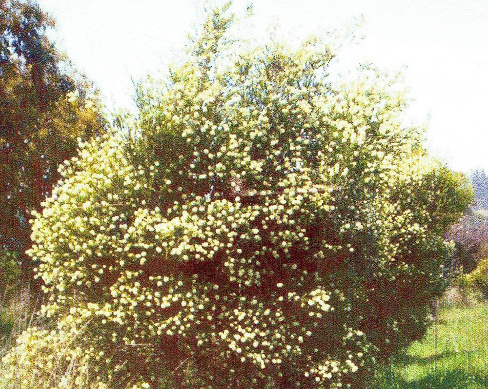 melaleuca-nells-garden.jpg