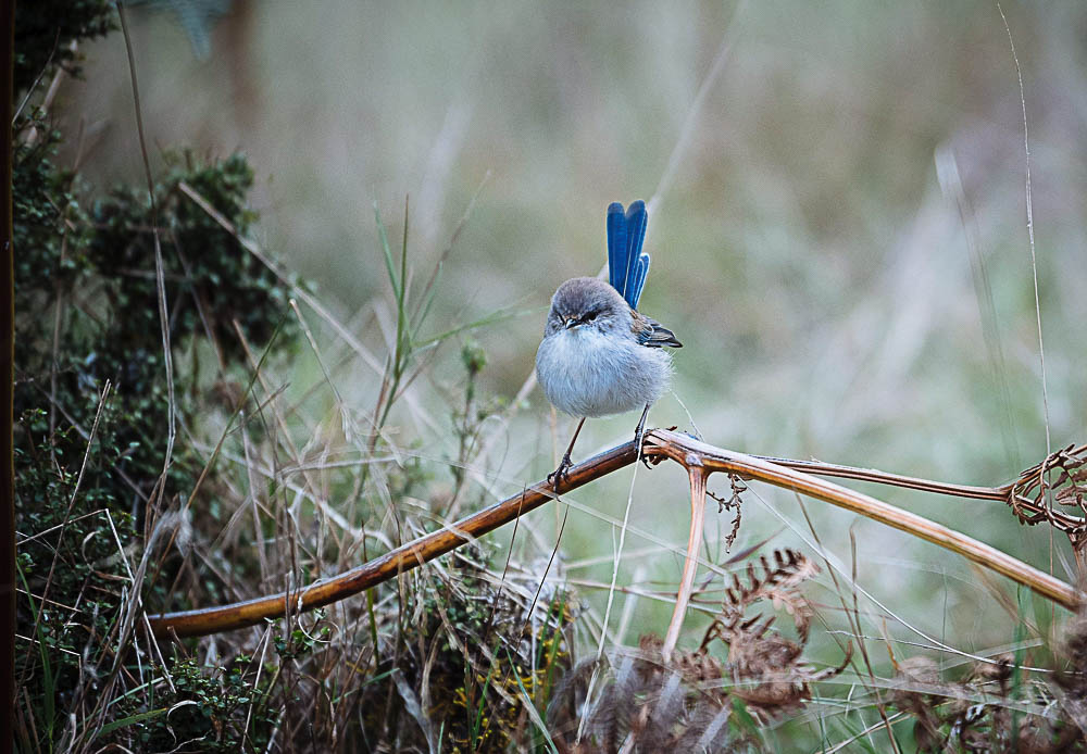 Fairy Wren spotted at the Liffey Falls Reserve Walk. Photo by Jade Hallam