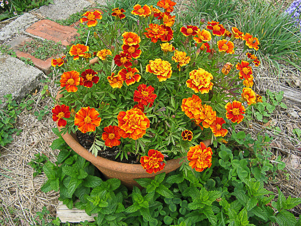 African Marigold is thought to be a twitch suppressant.