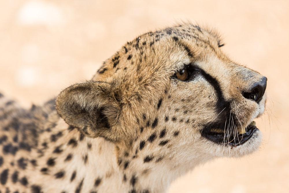 Cheetah-5.jpg
