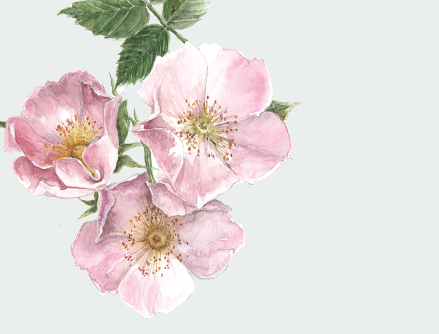 Wild Rose Original Watercolour Illustration for The Empowered Entrepreneur, by Gail Jones of  Starkeys Lane.