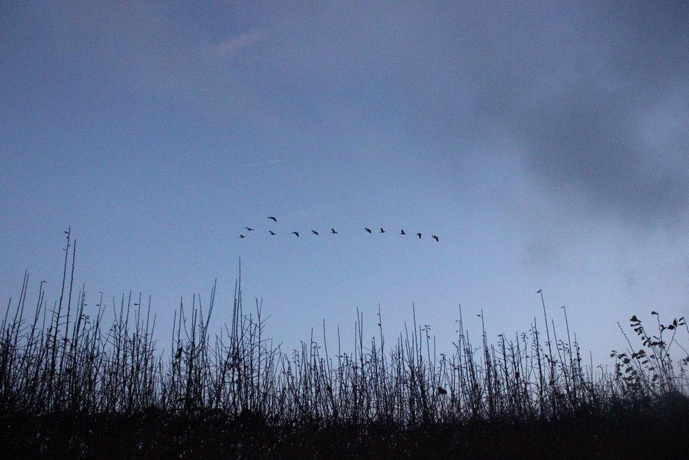migrating geese elizabeth cairns