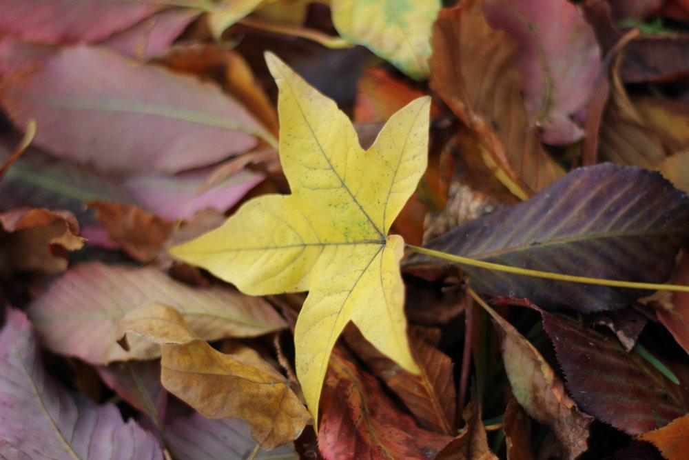 yellow leaf elizabeth cairns.jpg