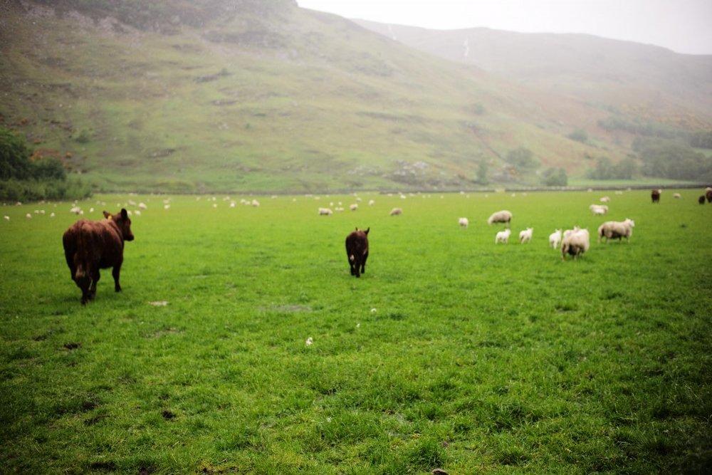 cows-1024x683.jpg