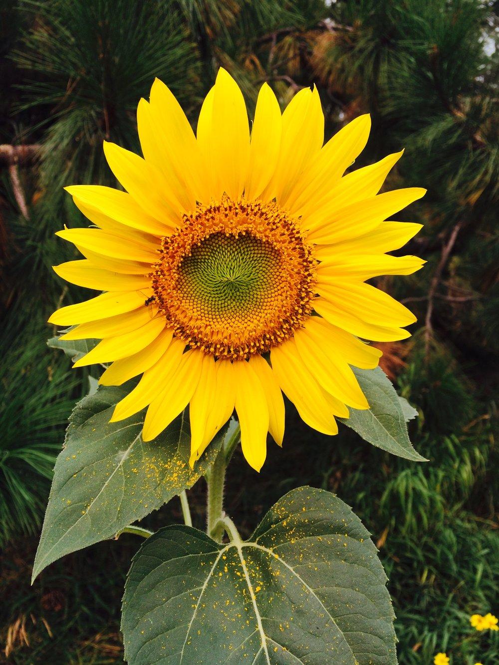 August Sunflower.jpg