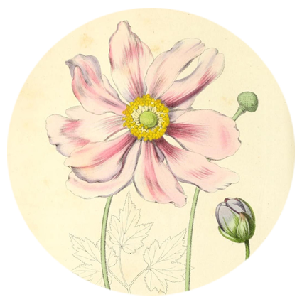 gala-anemone.png