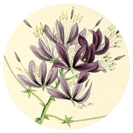 robyn-cleome.png