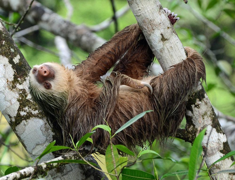 Sloths: the mindful eater's spirit animal.
