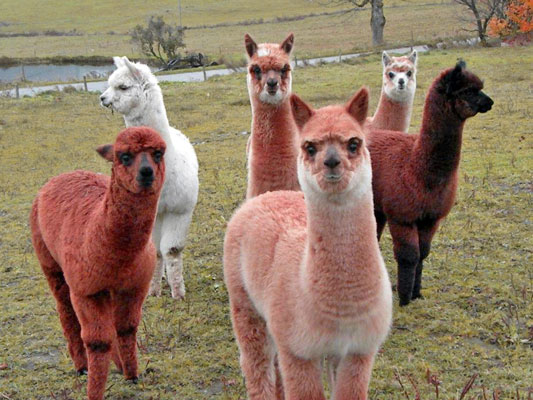 Walden-Mountain-Alpaca-Farm.jpg