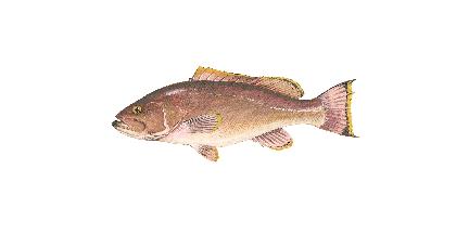 Yellowedge Grouper